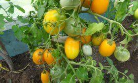 Жёлтые и оранжевые томаты: полезны ли они, чем отличаются от красных