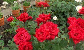 Как я выращиваю розы в Сибири