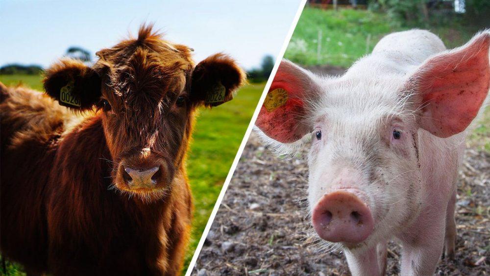 разведение свиней и КРС