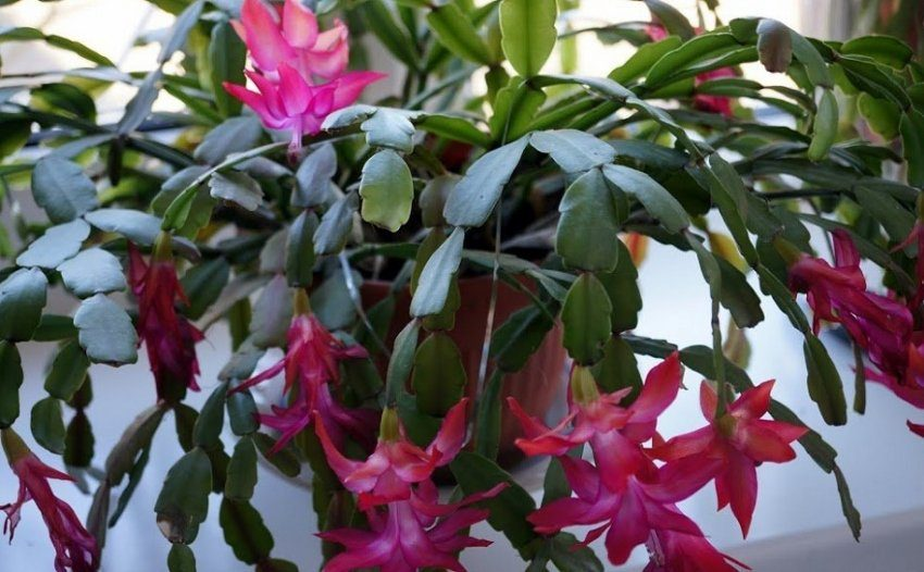 Декабрист во время цветения