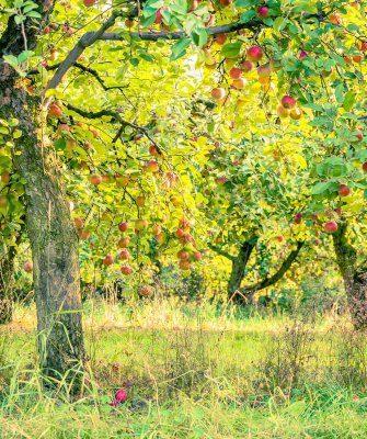 закладка яблоневых садов